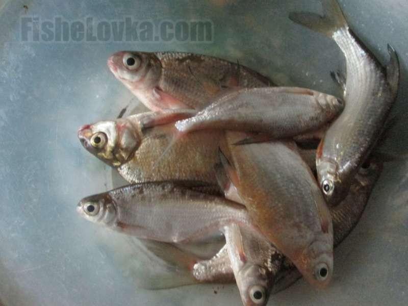 Разнообразие рыб в фидерном улове.