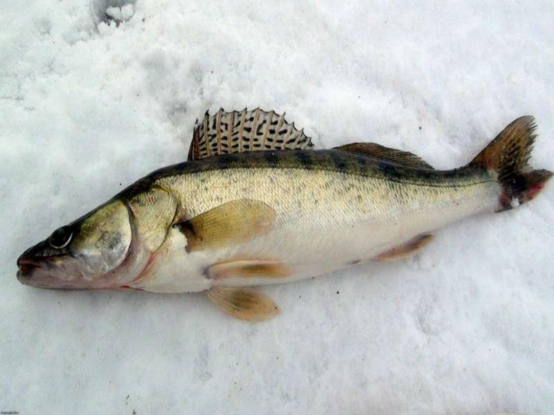 Зимняя ловля судака на тюльку