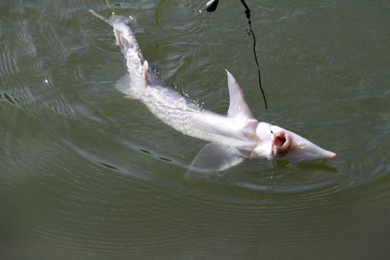 Рыба на крючке.