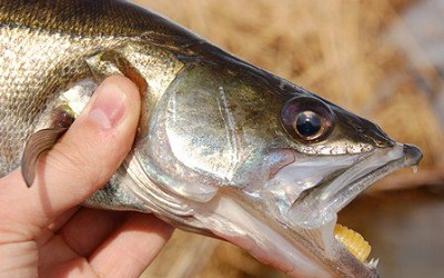 Особенности применения отводного поводка при ловле судака – руководство для начинающих