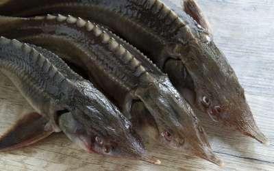 Царская рыба — стерлядь