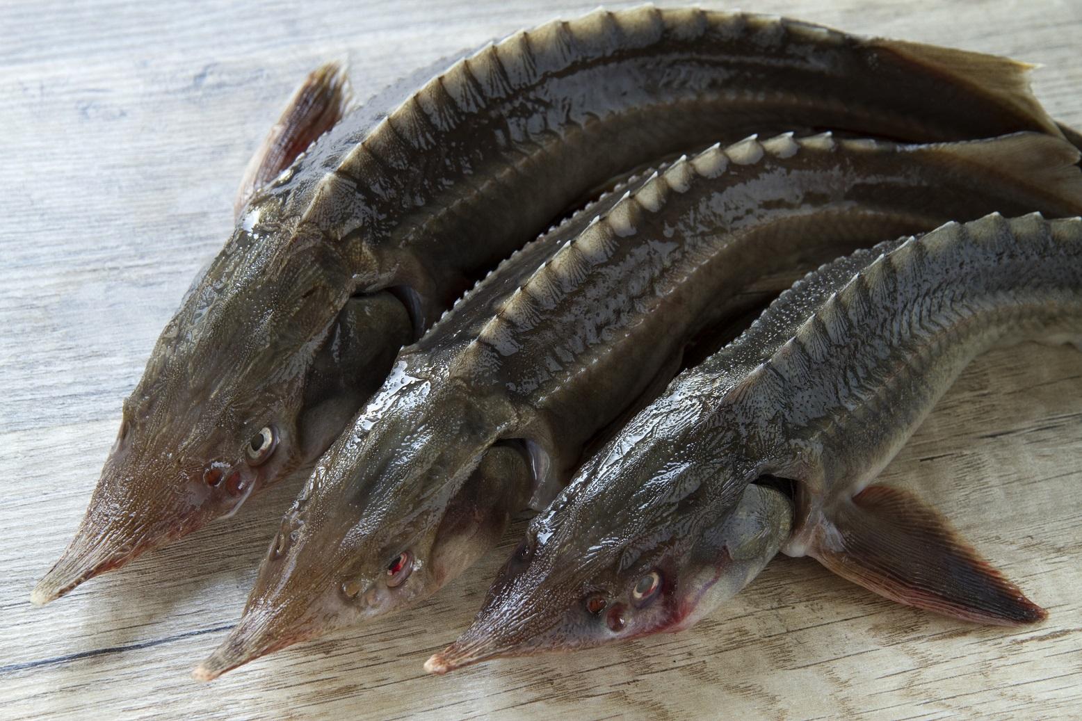 Стерлядь что за рыба