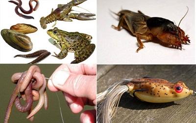 Наживки для ловли речного монстра – сома: виды и характеристики
