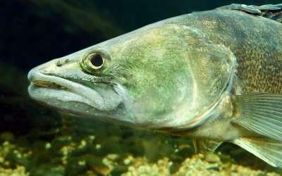 Особенности троллинговой ловли судака, или что необходимо для хорошего улова