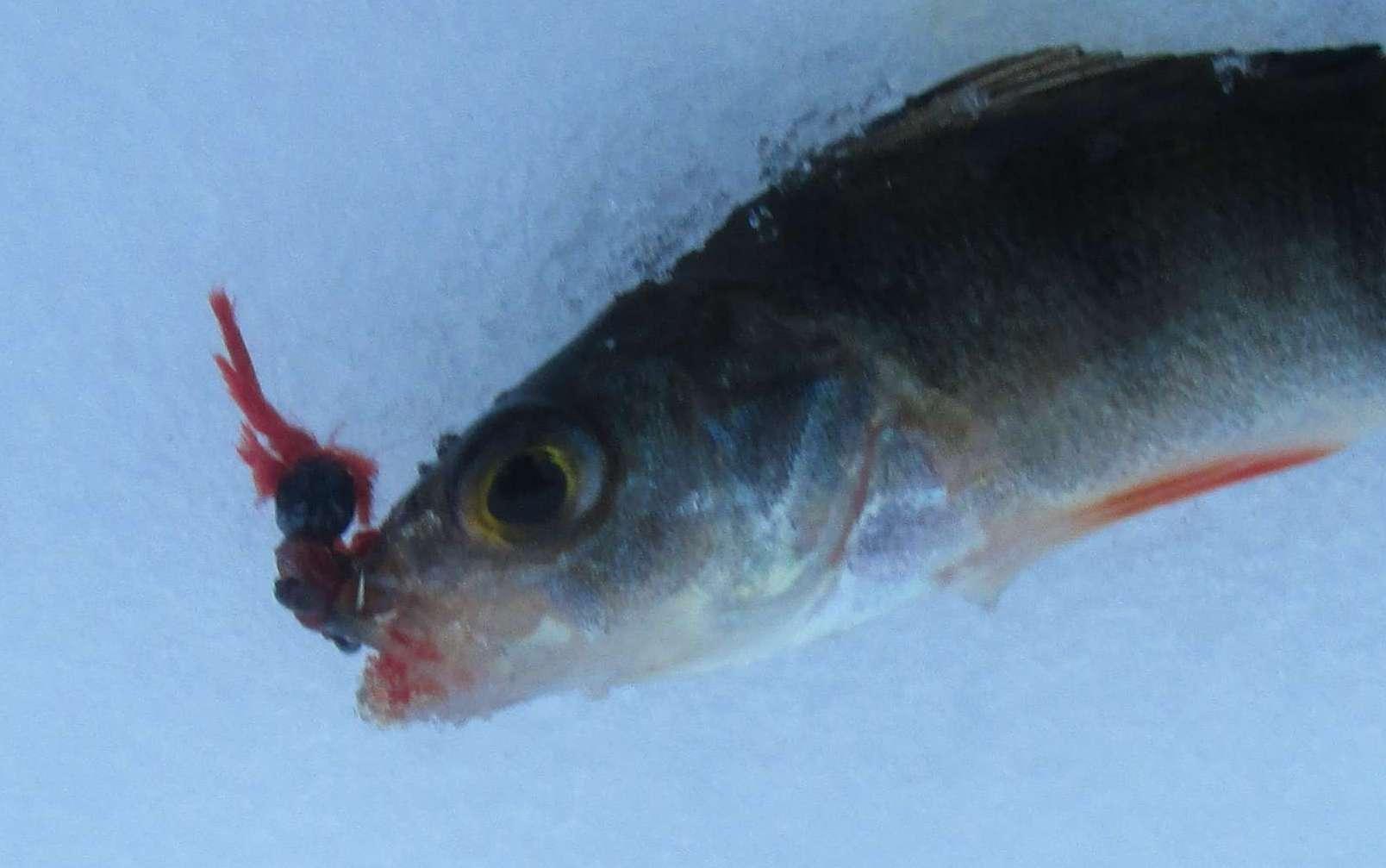 Ловля окуня на мормышку по первому льду