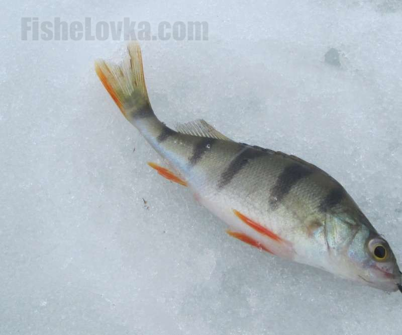 Ловля окуня на живца зимой