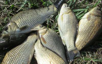 Ловля карася на фидерную снасть: основные приоритеты успешной ловли