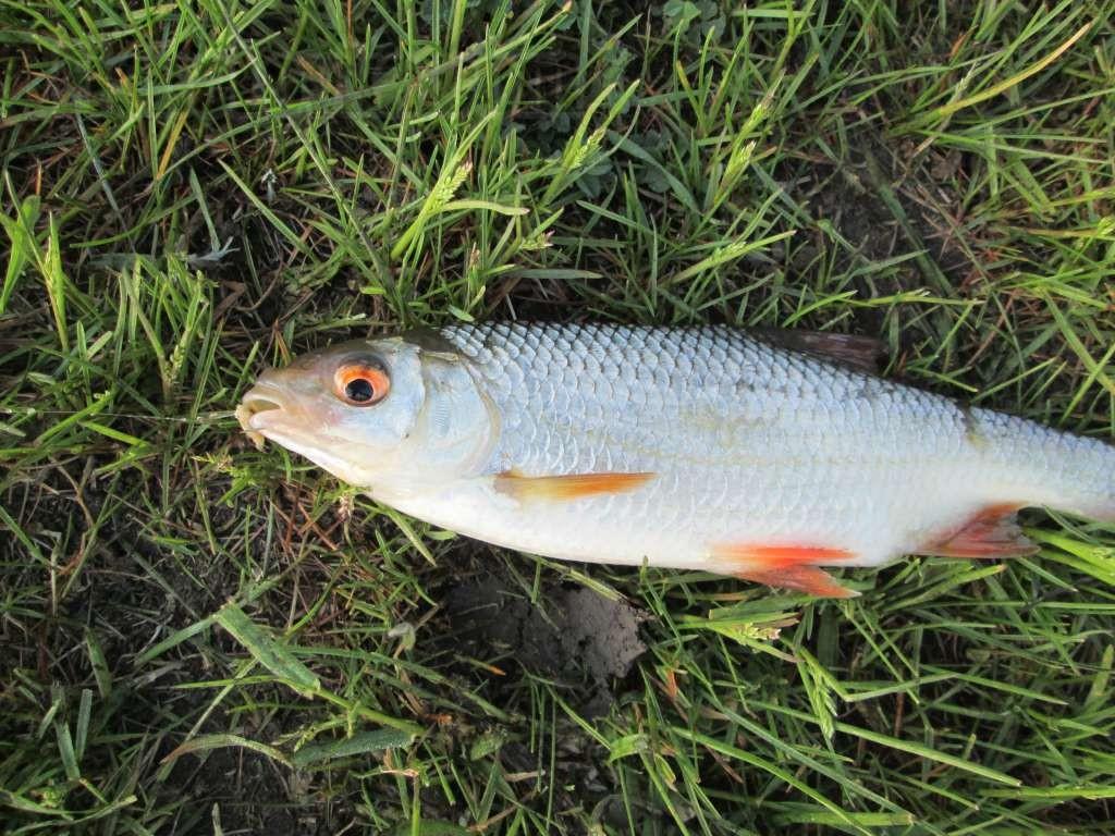 рыбы плотва обыкновенная хордовые