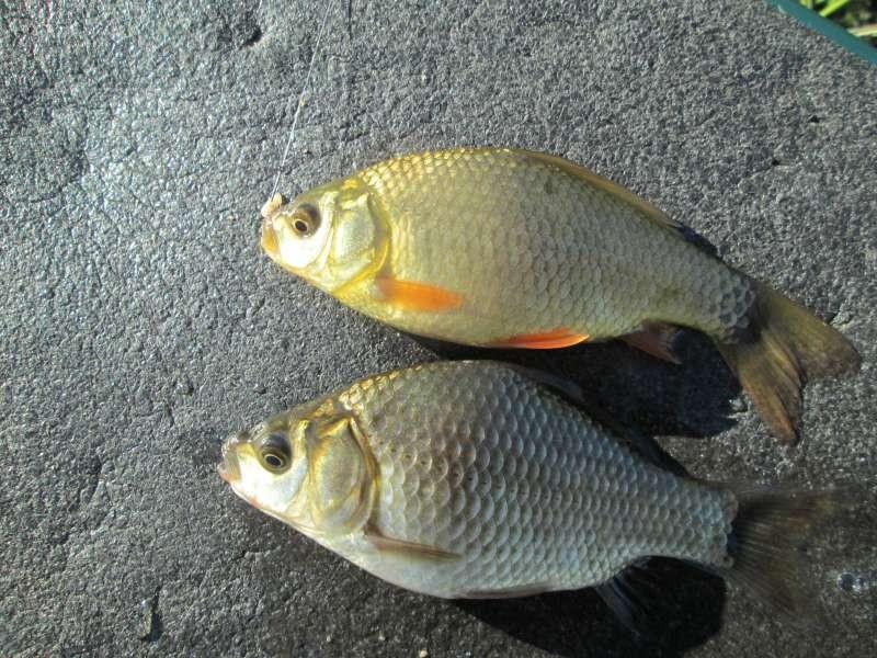 Два вида карася: золотой и серебряный.