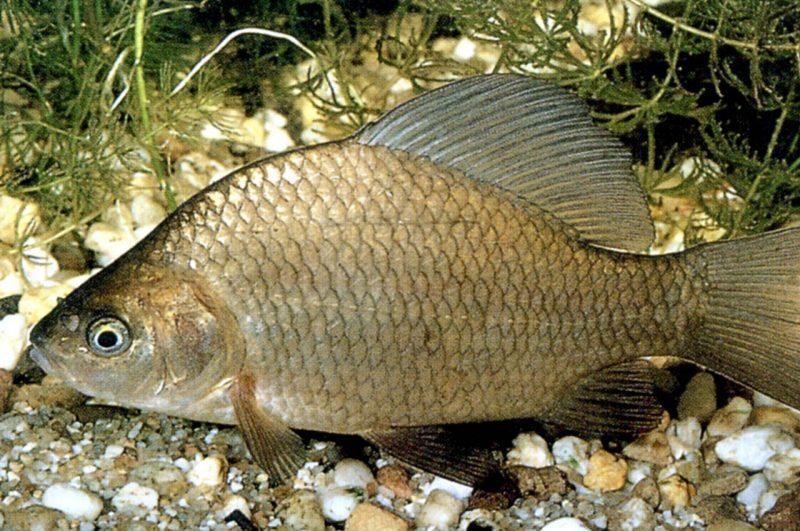 как сделать прикормку для рыбы с семечками