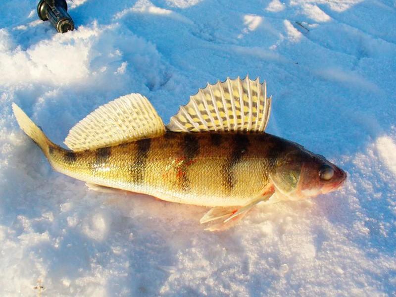 Зимой берш ловится чаще своего старшего брата - судака.
