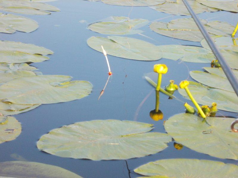 Между кувшинками можно ловить только поплавчанкой.