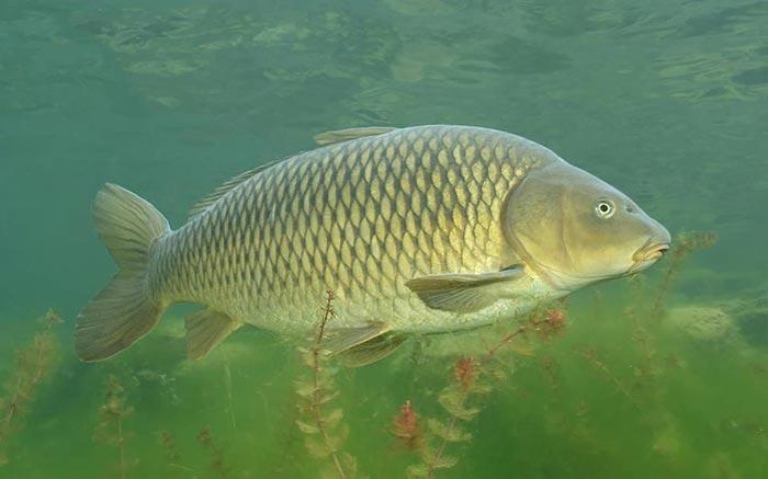 Сазан - сильная и красивая рыба.
