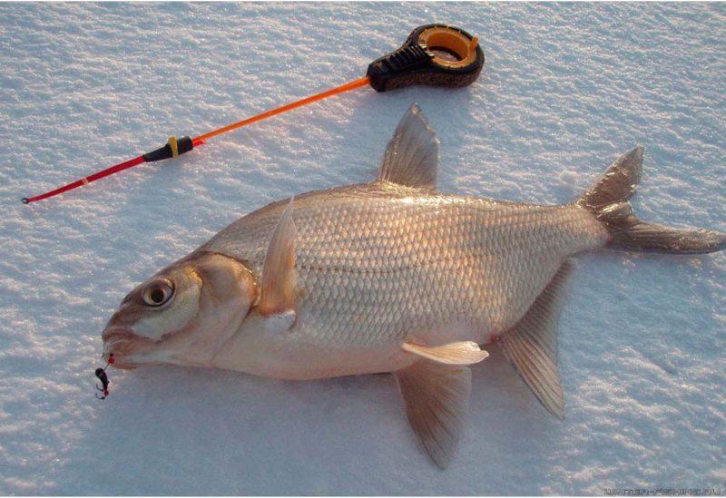 толстолобик зимой ловля