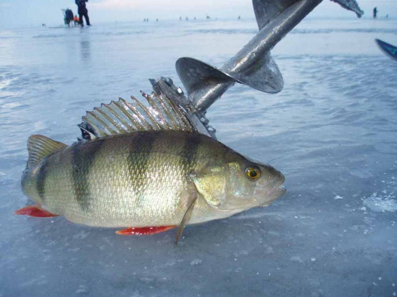 Рыбалка на окуня - постоянный поиск, поэтому без надежного бура не обойтись!