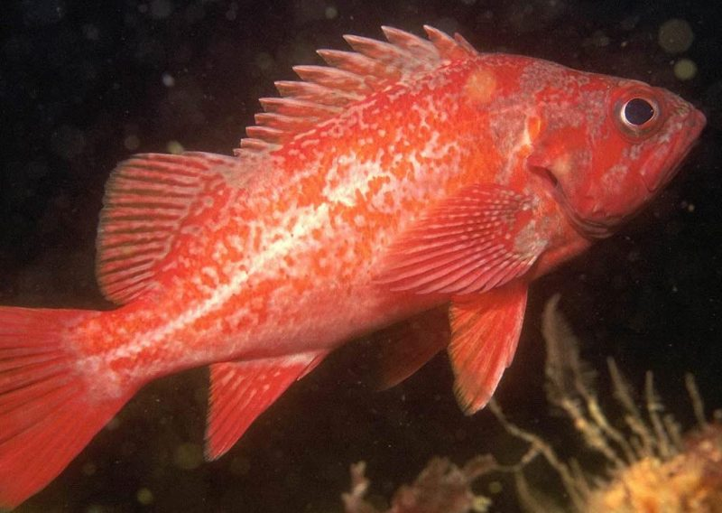 Морские окуни - обитатели глубин