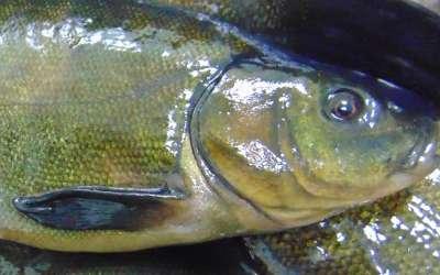 Все о рыбе линь