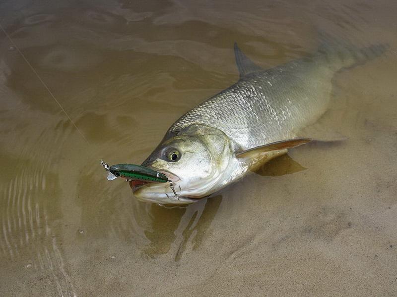 Как сделать рыбалку при ловле осеннего жереха более продуктивной?