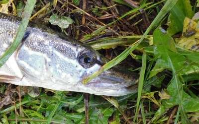 Особенности ловли щуки на поппер и критерии выбора попперов