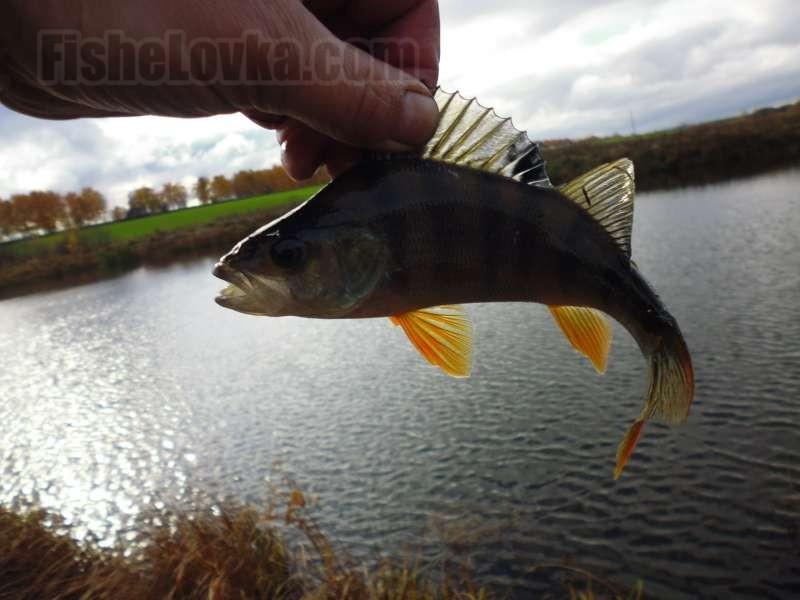 Особенности применения оснастки отводной поводок при ловле окуня