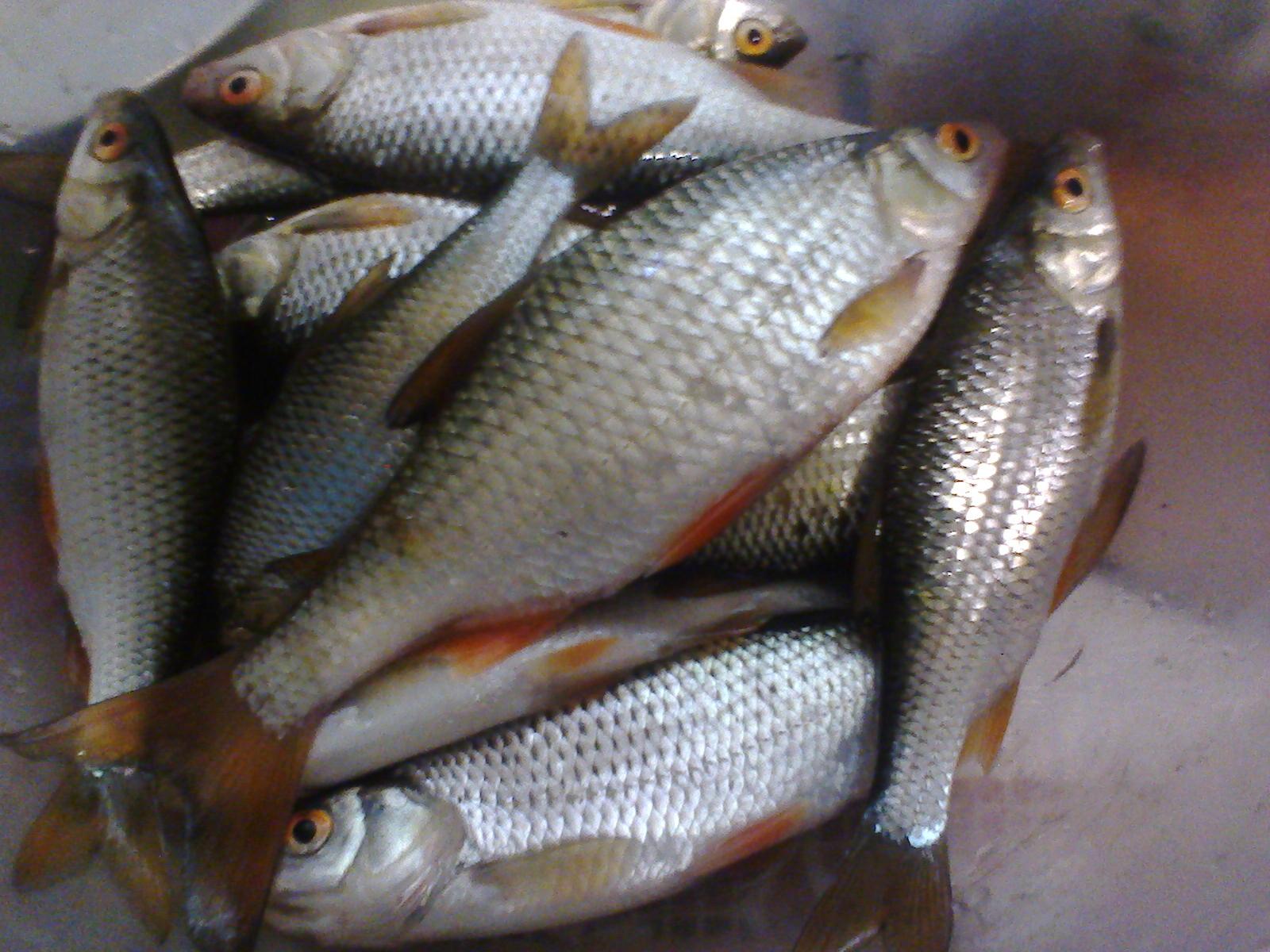 Ловля плотвы летом на поплавочную удочку — Здесь рыба