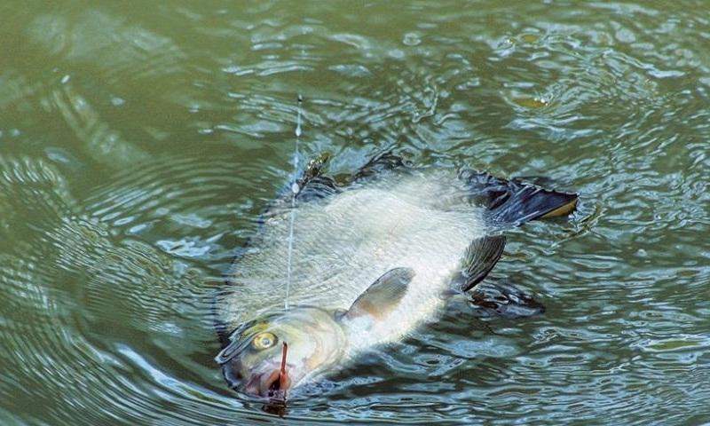 Как поймать осторожного леща на поплавочную удочку