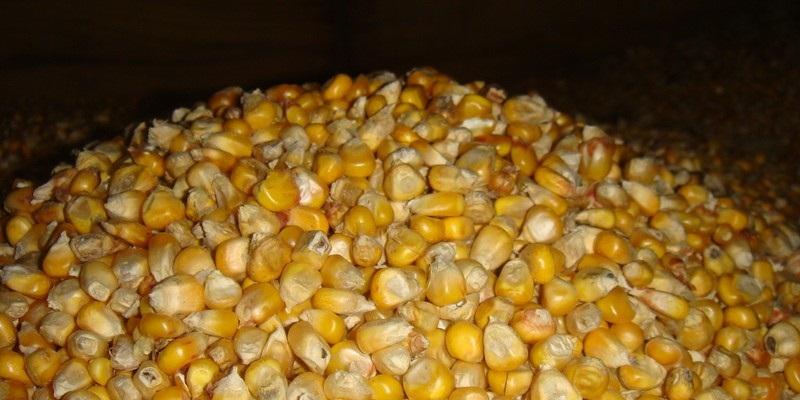 Зерновая цельная кукуруза - полуфабрикат для приманки.