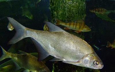 Кому леща: вся правда о популярной рыбе