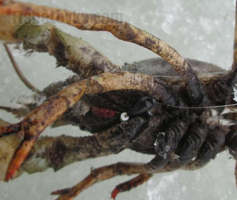 Рак соблазнился черной мормышкой с мотылем.