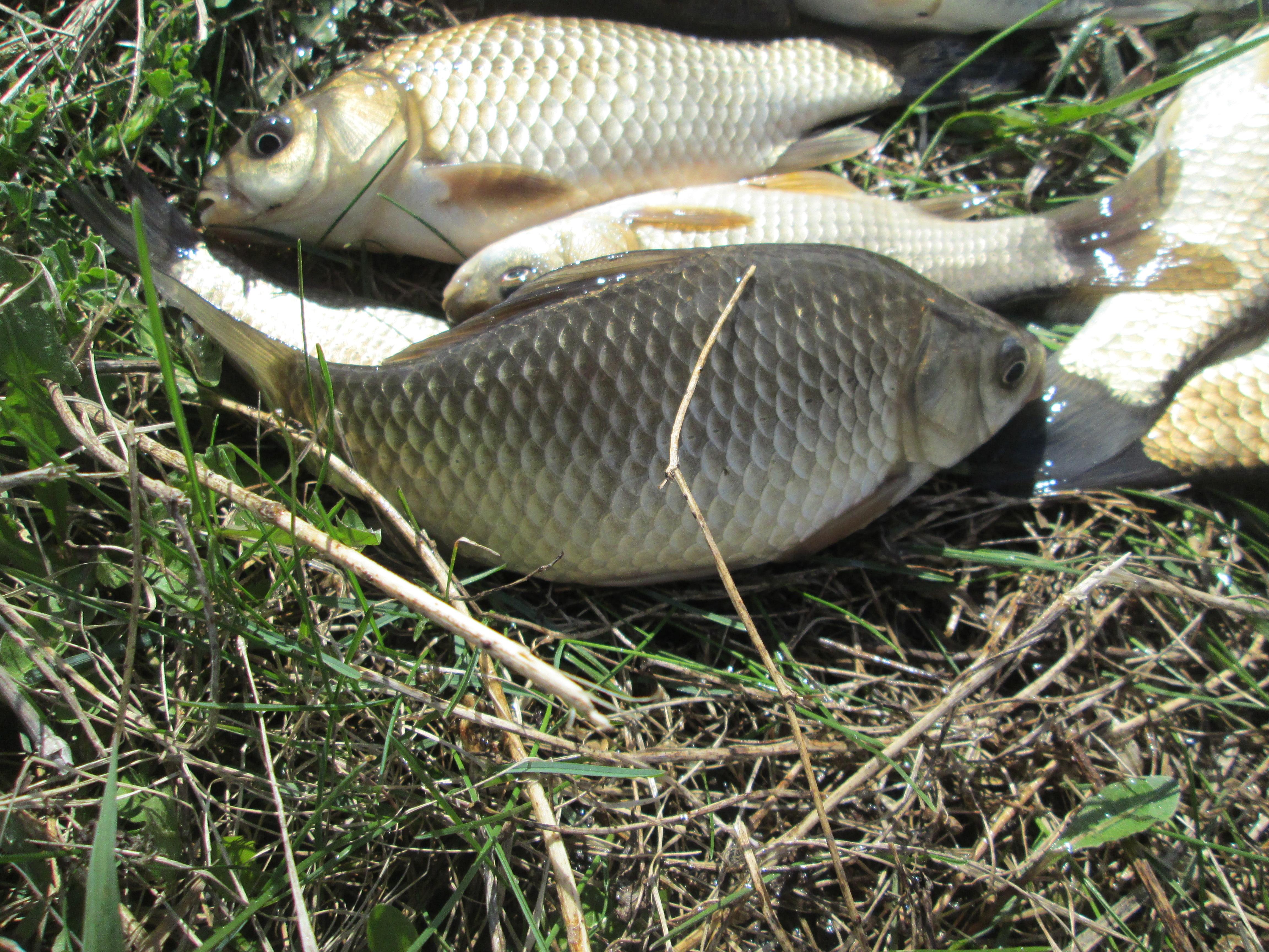 Особенности ловли карася в летний период