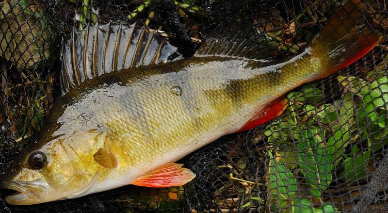 на что клюет рыба арапайма