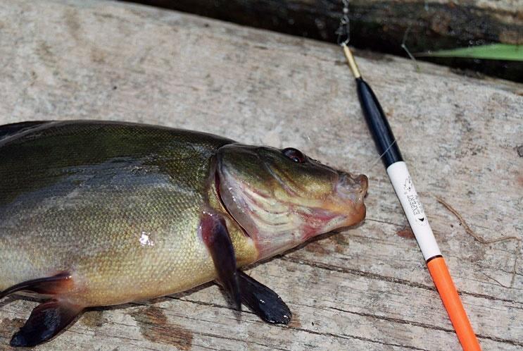 Поплавок для ловли линя.