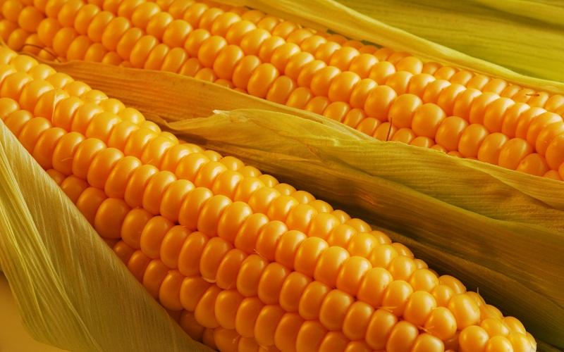 Особенности приготовления кукурузы для рыбной ловли