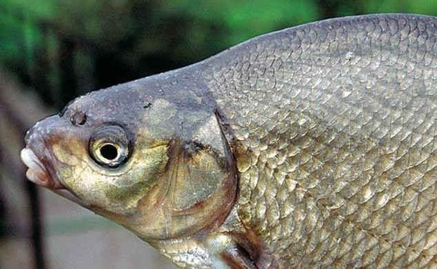 На голове самца появляются характерные бугорки.