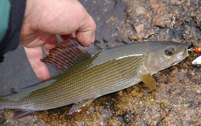 Ловля хариуса на балду — Здесь рыба