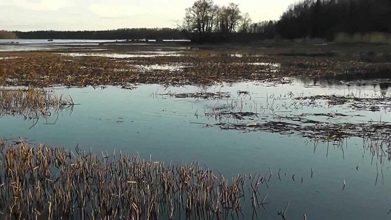 В зарослях травы рыба видит безопасность для потомства.