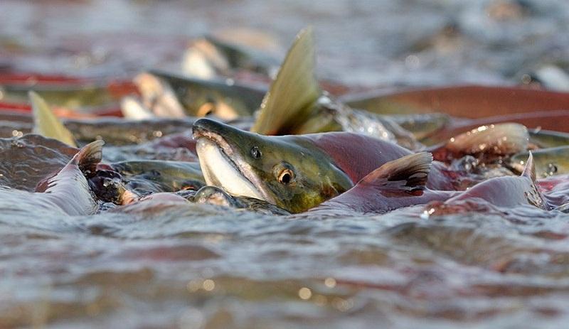 Как происходит нерест рыбы?