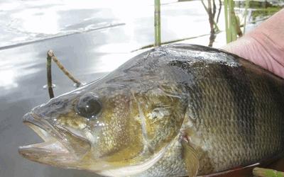 Как поймать окуня поплавочной удочкой