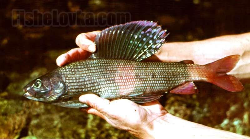 Хариус до и после нереста – особенности ловли этой рыбы весной