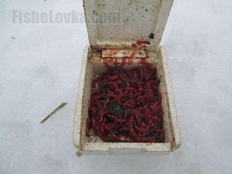 Мотыль - любимейшее лакомство ерша зимой.