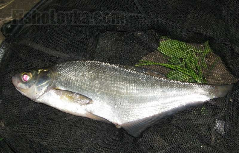 Образ жизни рыбы синец, ее повадки и места обитания