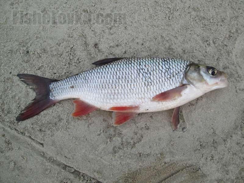 Рыба язь: образ жизни, лучшие места для ловли, выбор рабочей снасти и приманки