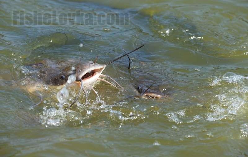Тактические разработки и приемы для осенней ловли сома
