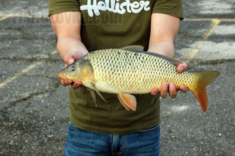 Спиннинг на карпа — ловля мирной рыбы на «хищную» снасть