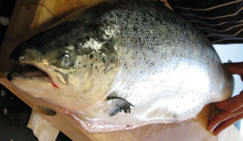 Образ жизни рыбы семги и способы любительской ловли