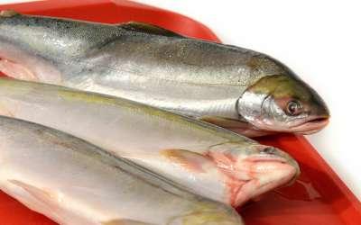 Голец – достойный представитель семейства лососевых