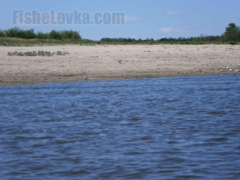 На нерест горбуша идет в реки.