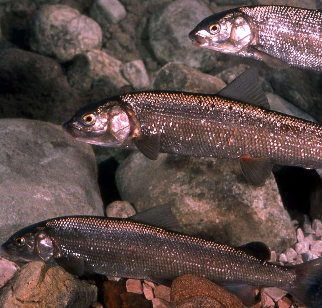 Сиг – все самое интересное о разнообразии форм и повадках древней рыбы