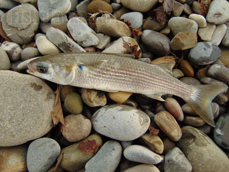 Образ жизни рыбы кефаль: способы ловли на любительские удочки