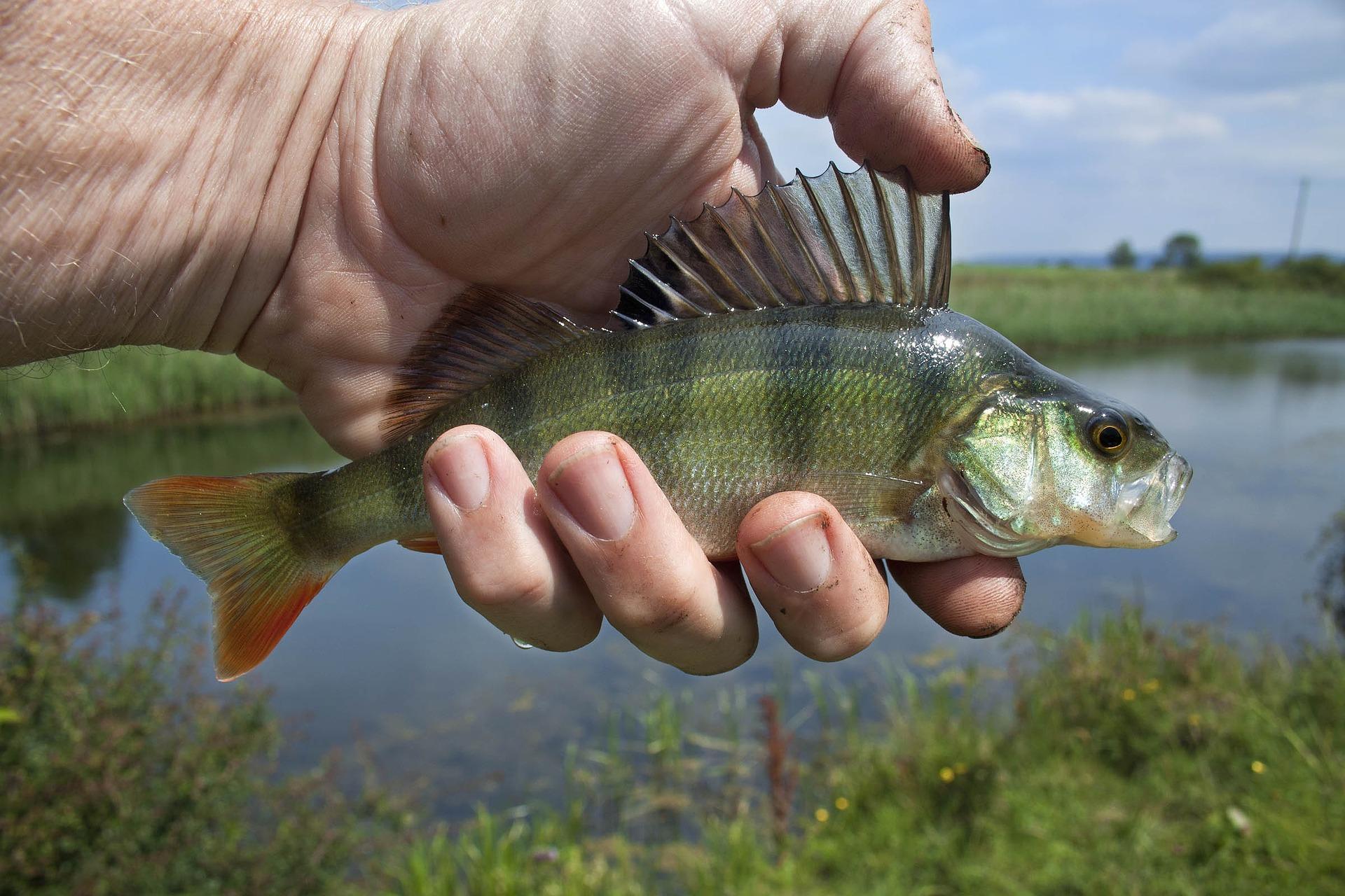Окуневая донка – подходящие снасти и особенности рыбалки
